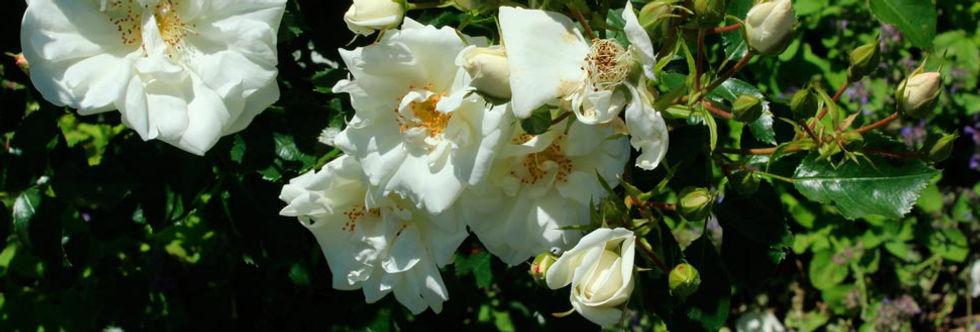 Rose1-Web.jpg