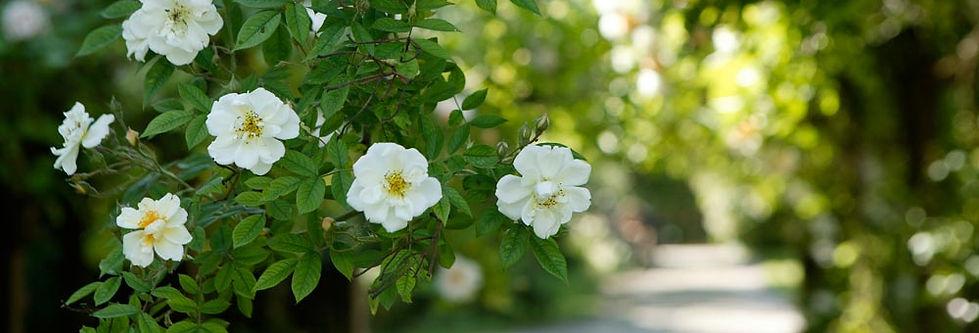 Rose3-Web.jpg