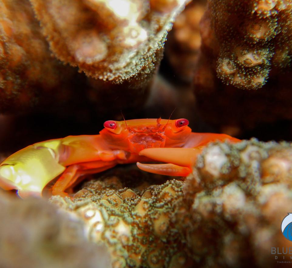 Granchio corallo.jpg