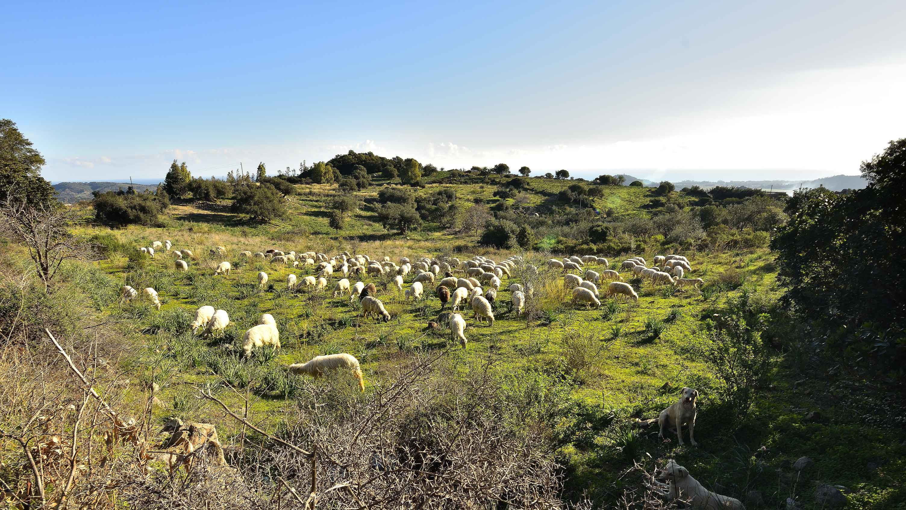 A lot of sheeps in Sardinia