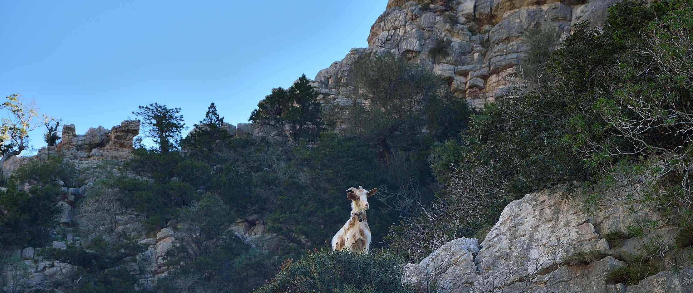 Hello Goat