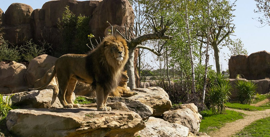 la-terre-des-lions-zoo-beauval-155897185