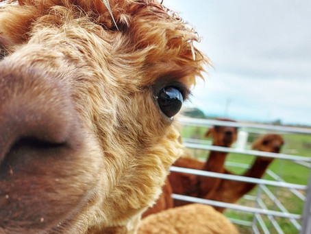 Homeschooling, Zoom Chats & Alpacas...