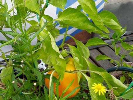"""Todos podemos huertear. De huertos urbanos, hortalizas, frutos, flores y muchos """"caramelos"""""""