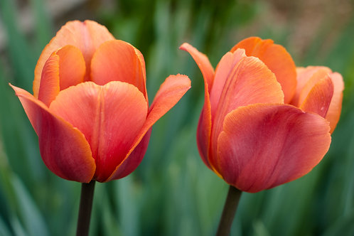"""""""Two Tulips"""""""