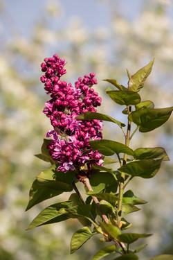 Lilac I