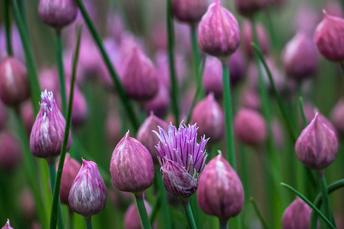 """Chives"""