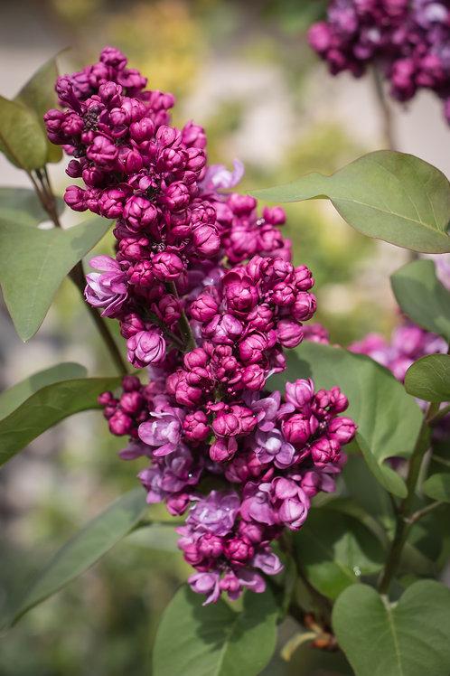 Lilac III