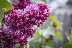 Lilac Drip