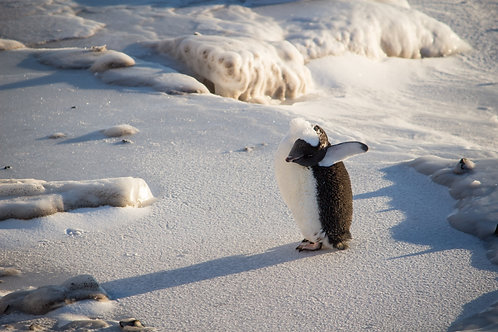 """Adelie Penguin Stretch"""