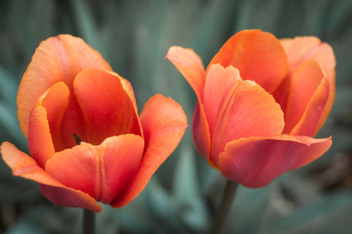 """Two Tulips"""