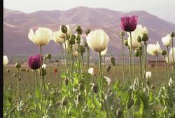 Opium in Nordafghanistan
