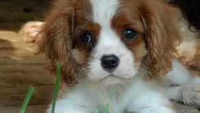 Что такое актировка щенка?