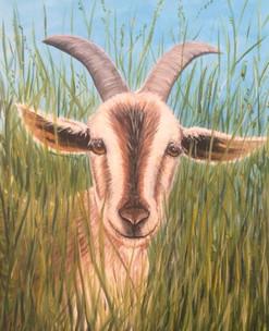 Anguilla Goat