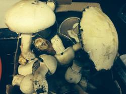 Funghi freschi appena raccolti