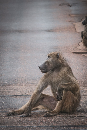 Baboon Model