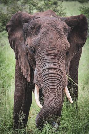 Elephant @ Kruger