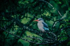 Kingfisher @ Kruger