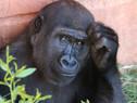¿Más del 98% de similitud entre el hombre y el mono? Ya no