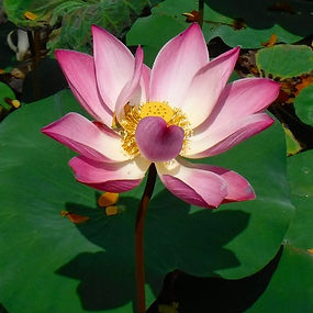 Like the #lotus 🌸 we too have the ability to rise up out of the mud, bloom out of the darkness and