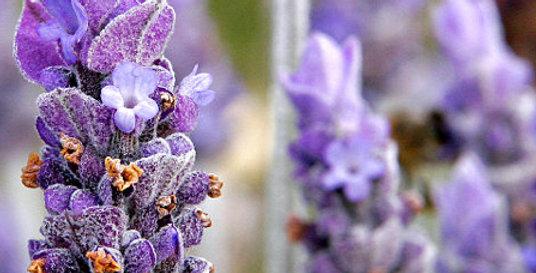 12oz Lavender infused Local Honey Raw
