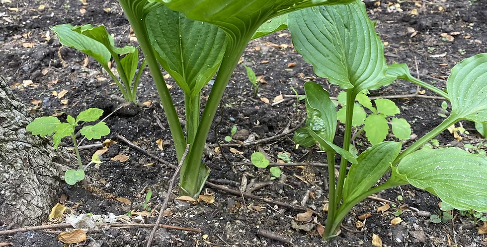 Young Hosta Plants