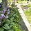 Thumbnail: Young Hosta Plants
