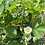 Thumbnail: Organically Grown Strawberry plants