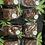 Thumbnail: Salted Caramel CBD Brownies  (12brownies)
