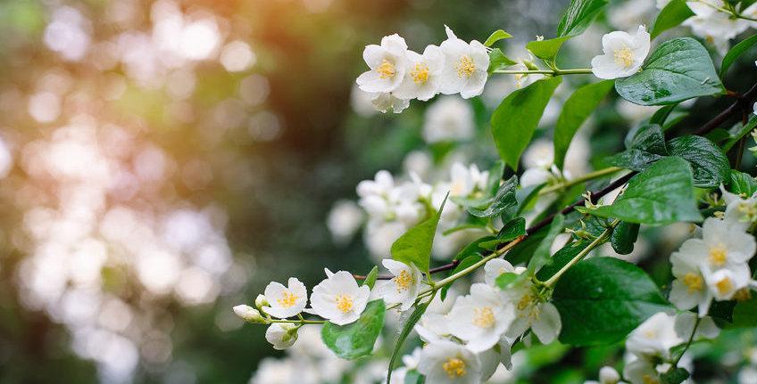 4oz Jasmine Flower Local Honey Raw