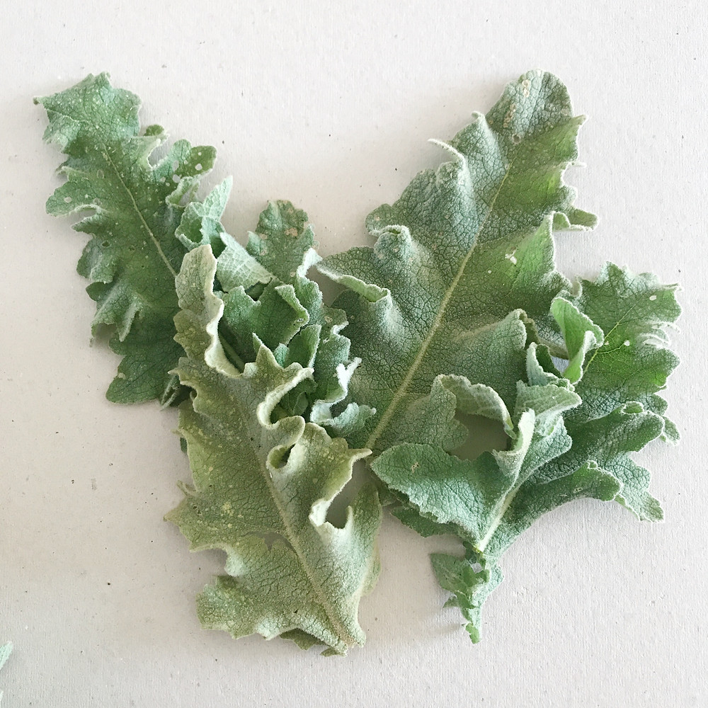 flavonoid rich leaves
