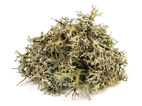 Icelandic moss lichen