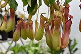 pitcher-plant-4805856_1920.jpg