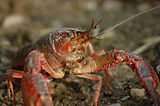 freshwater-crayfish-4494383_1920.jpg