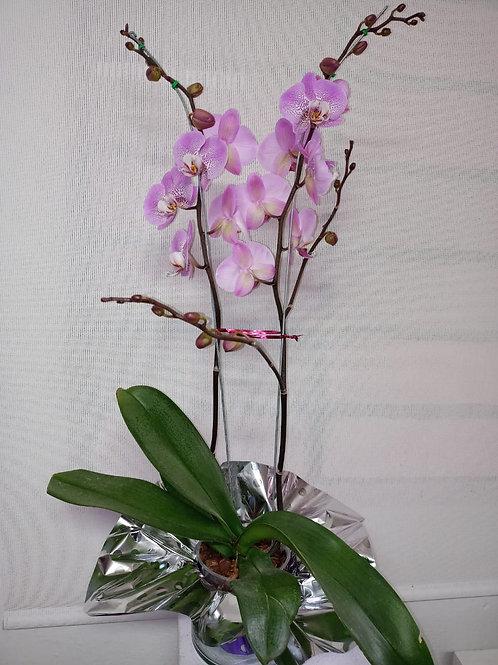 Orquídea mora en leche