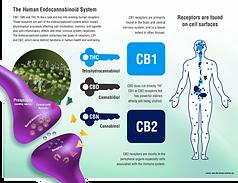 endocannabinoid-system-cbd-cannabidiol-1