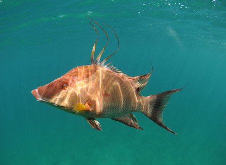 Creature Feature: Hogfish