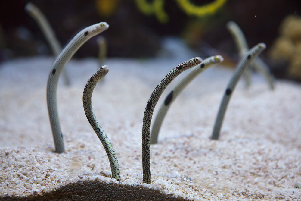 Photo of spotted garden eels
