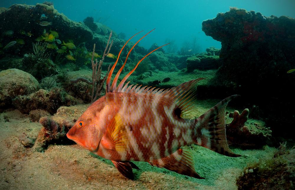 Photo of Hogfish or underwater lachnolaimus maximus.