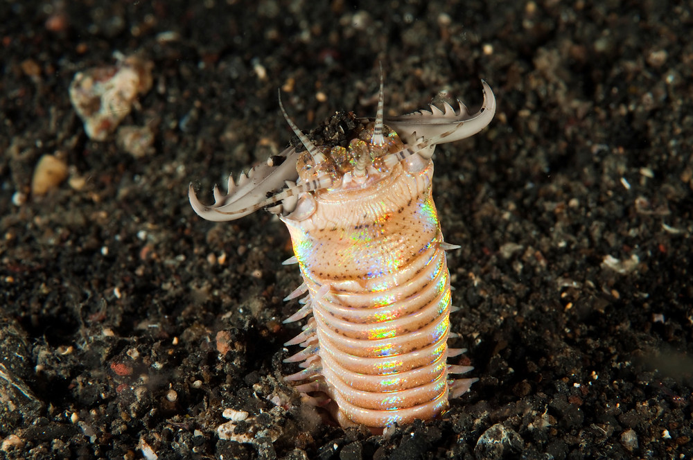 Photo of a bobbit worm