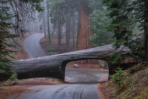 Tunnel Log on a misty day -- large enough to drive a car (but not an Airstream!) through.