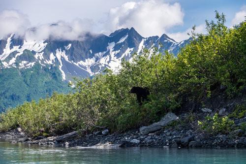 A black bear peeks his head out at Bear Glacier.