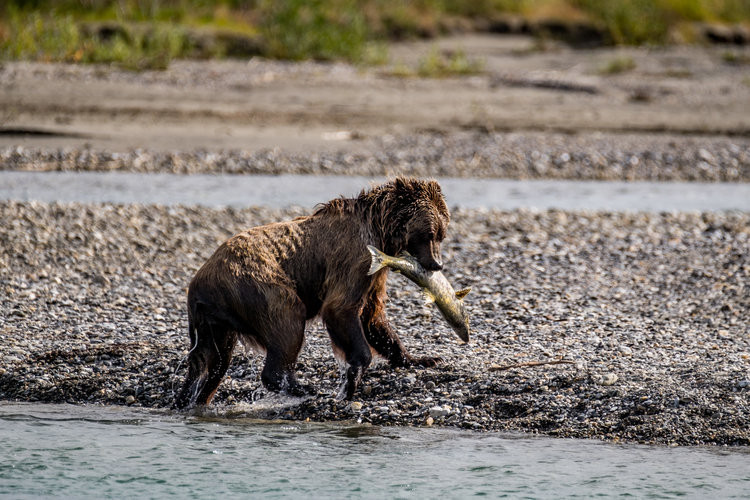 A grizzly catches his dinner on the shores of the Noatak.