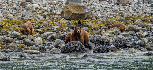 A mama bear (sow) and her cubs unearth shellfish during low tide as seen from the National Park Service Tour Boat, an experience which can be booked at the Glacier Bay Lodge.