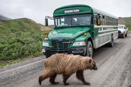 A grizzly bear crosses the path of a tour bus on Denali Park Road.
