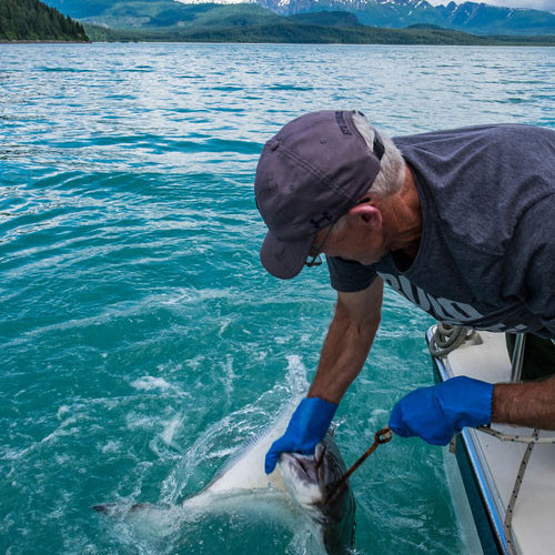 Captain Jim Kearns is one of the most experienced and knowledgable skippers in Glacier Bay, having navigated the waters for decades. Here, he shows us how to wrangle a 70-lb halibut, one of many we pulled up that day, and enjoyed for dinner at his bed & breakfast in Gustavus.
