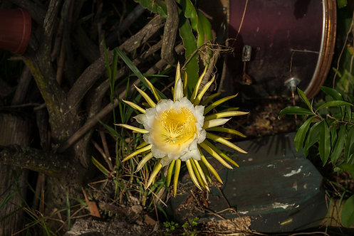 Fotografia Flor de Cactus