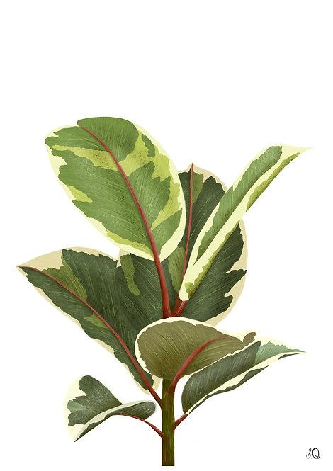 Ilustração Ficus Tineke