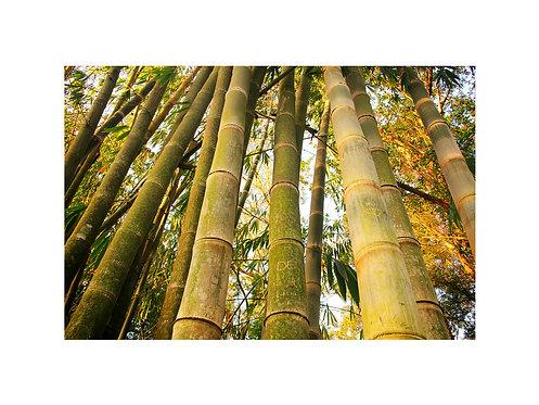 Fotografia Bambus Ibira