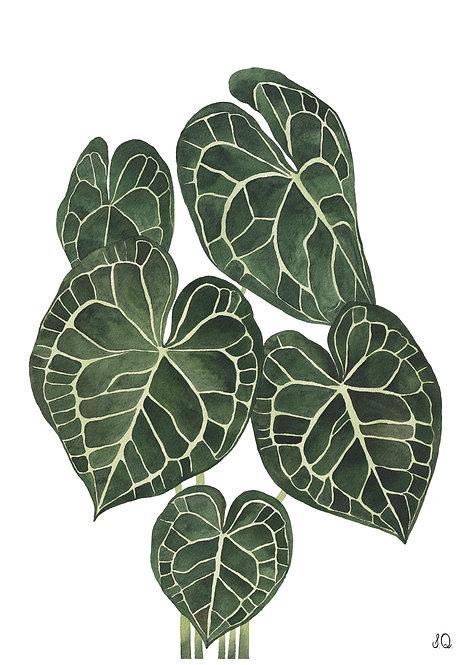 Ilustração Anthurium Clarinervium